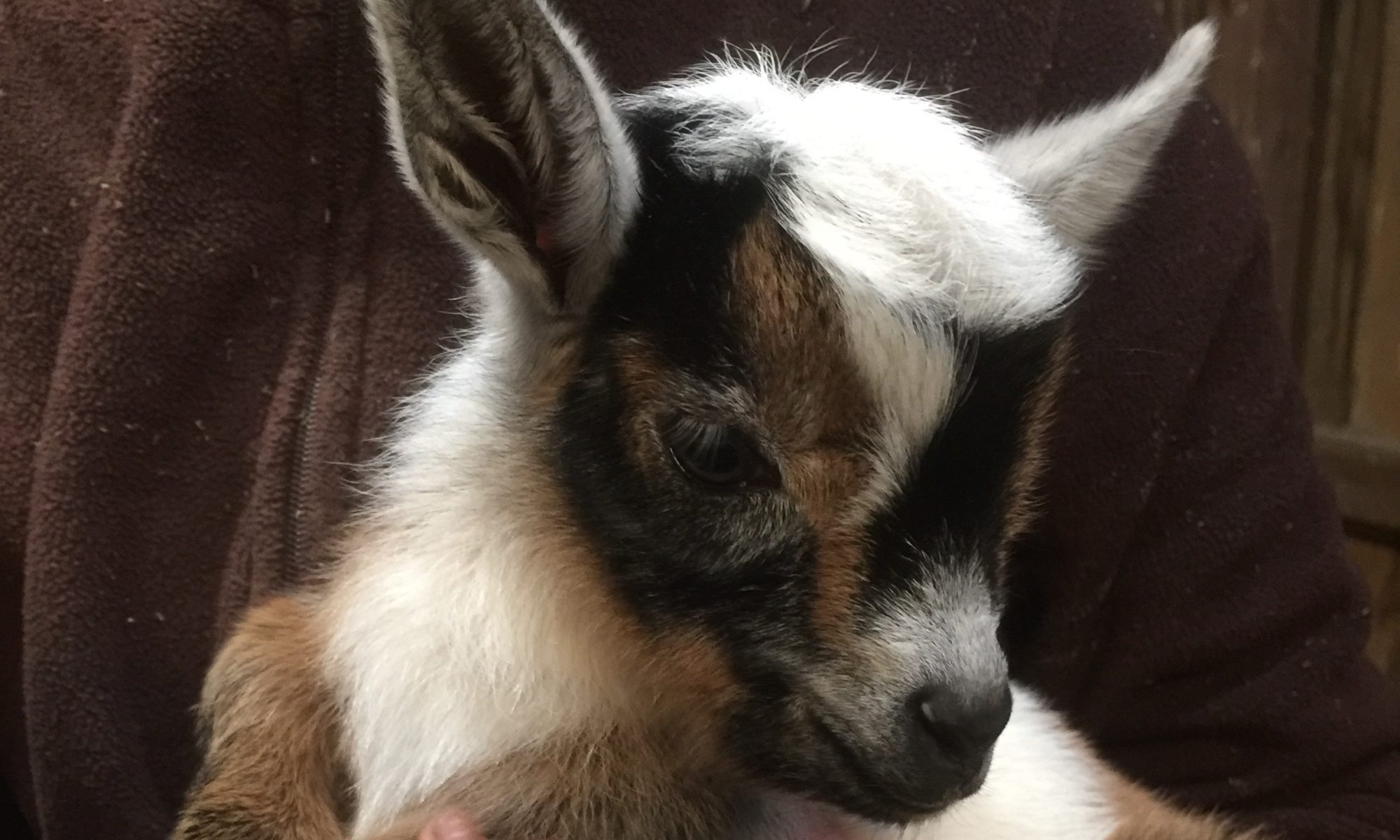 First Fleet Nigerian Dwarf Goats